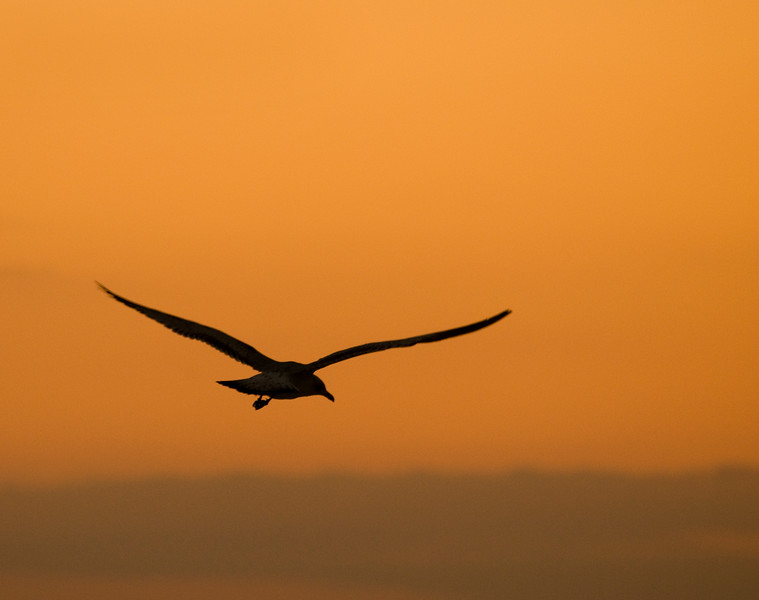 Seagull at sunrise on Miami Beach, Florida.  Copyright - W. Keith Baum | PhotoCanal.com