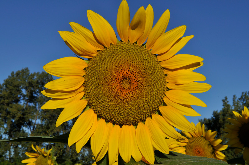 Sunflowers, Dearborn, Michigan, USA  Copyright - W. Keith Baum | PhotoCanal.com