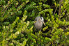 A young Great Blue Heron takes shelter in some greens, Everglades National Park, Florida  Copyright - W. Keith Baum | PhotoCanal.com