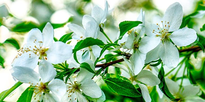 Blossoms66B