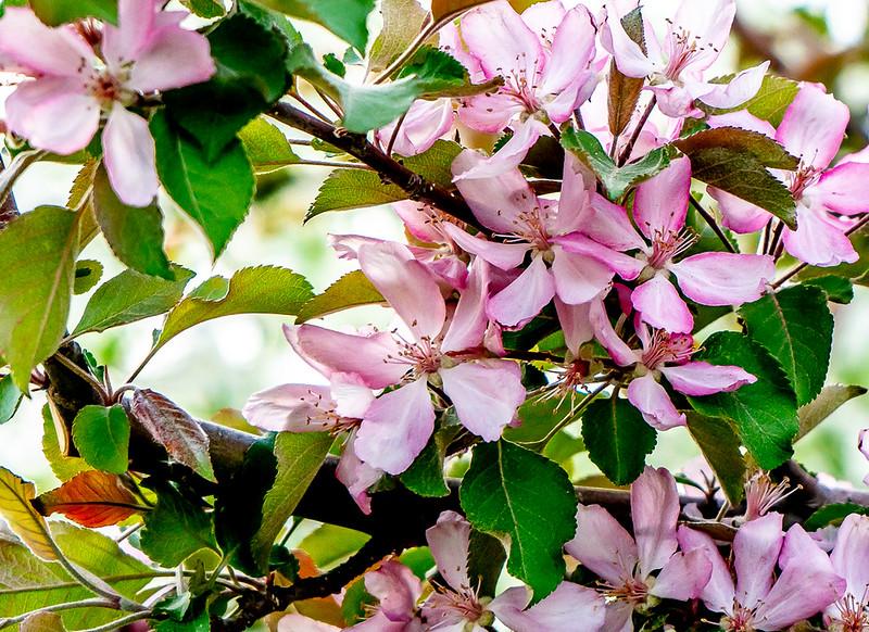 Blossoms-52