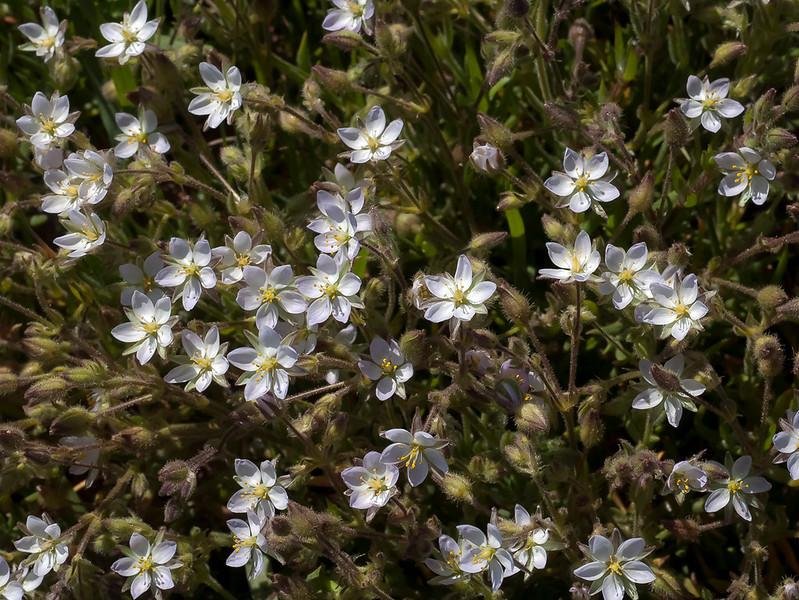 Large-flowered sand spurrey