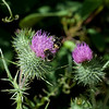 Bumble bees on thistle