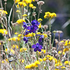 Hutchinson's larkspur and Golden Yarrow
