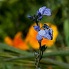 Blue toad flax