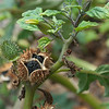 Jimson weed seed pods