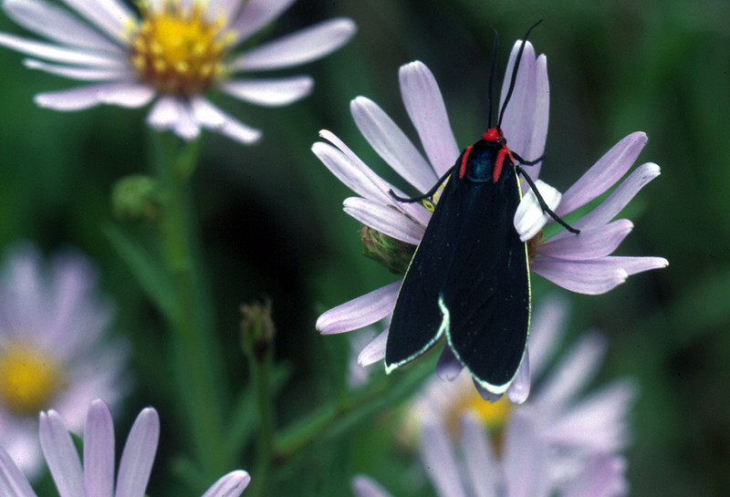 Common California aster and Red-shouldered Ctenucha
