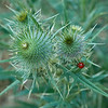 Ladybird beetle on thistle