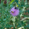 Bumble bee and Honey bee on thistle