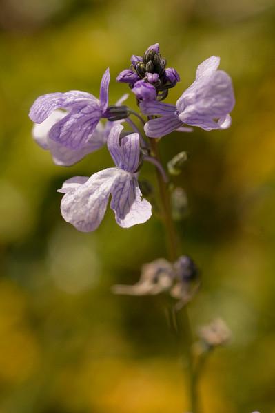 Blue toad flax