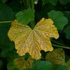 Cheeseweed leaf
