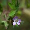 Round-leaved geranium