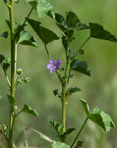 Cheeseweed mallow