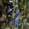 Parry's larkspur