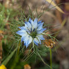 Love-in-a-mist or Ragged lady