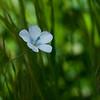 Narrow-leaved flax