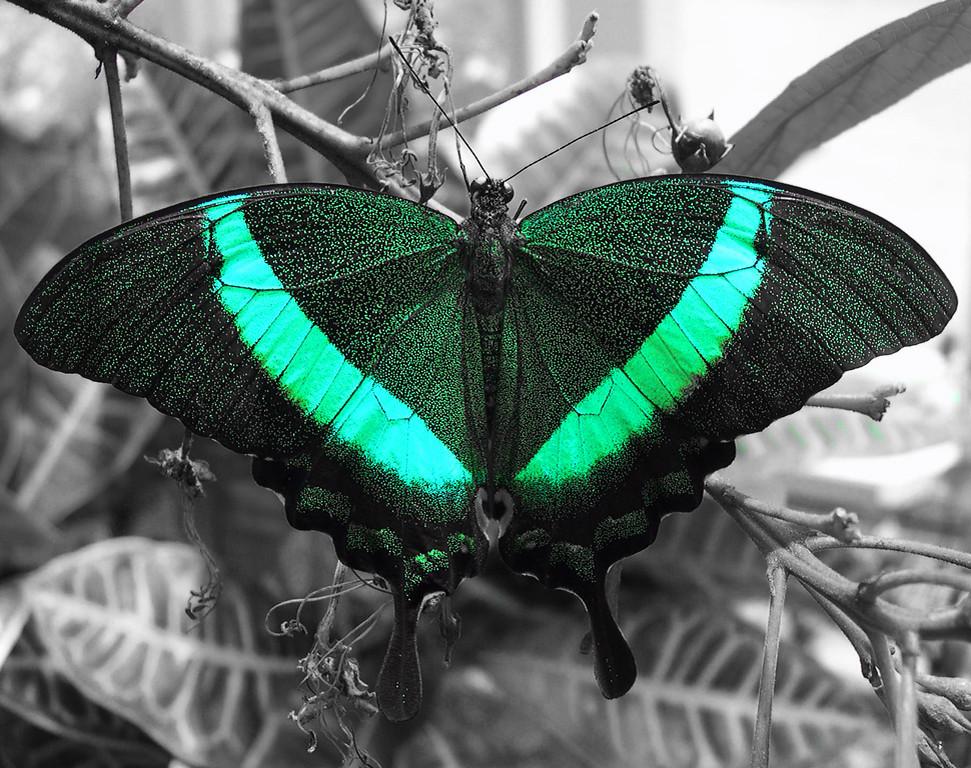 Cyan Butterfly