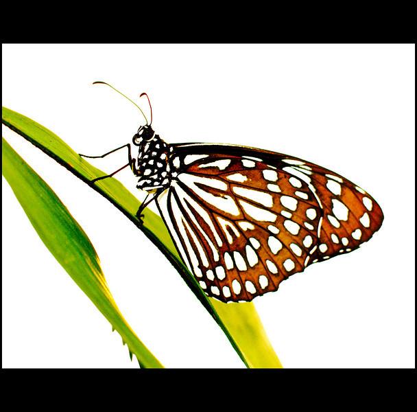 High Key Butterfly
