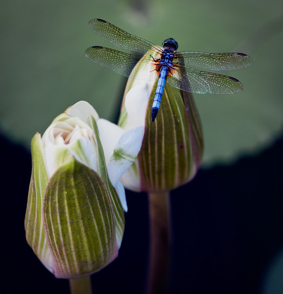 Curse of the Blue Dragonfly
