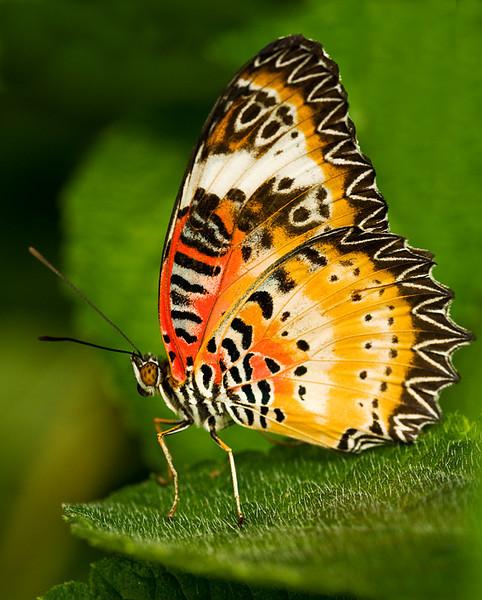 Malaysian Lacewing