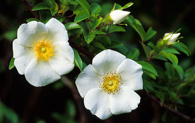 Wild Cherokee Roses - Two Buds, Two Blooms