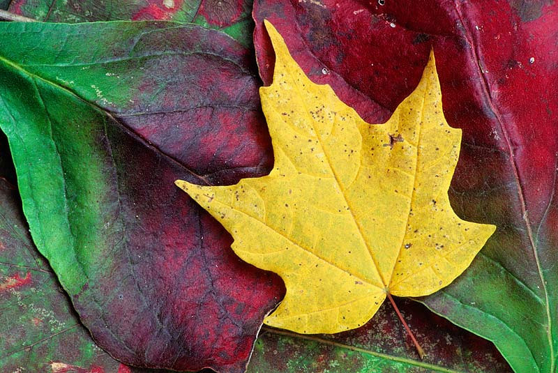 Yellow Leaf on Red and Green