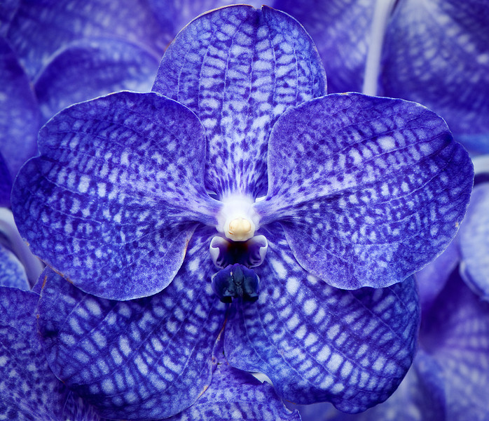 Monday Orchid Blues