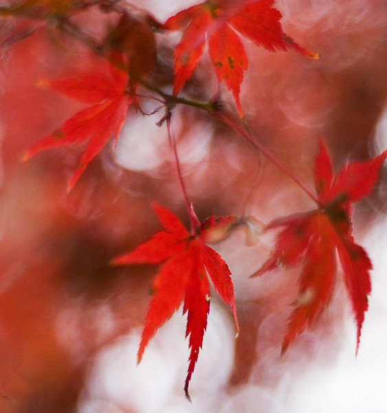 Maple Leaf Bokeh