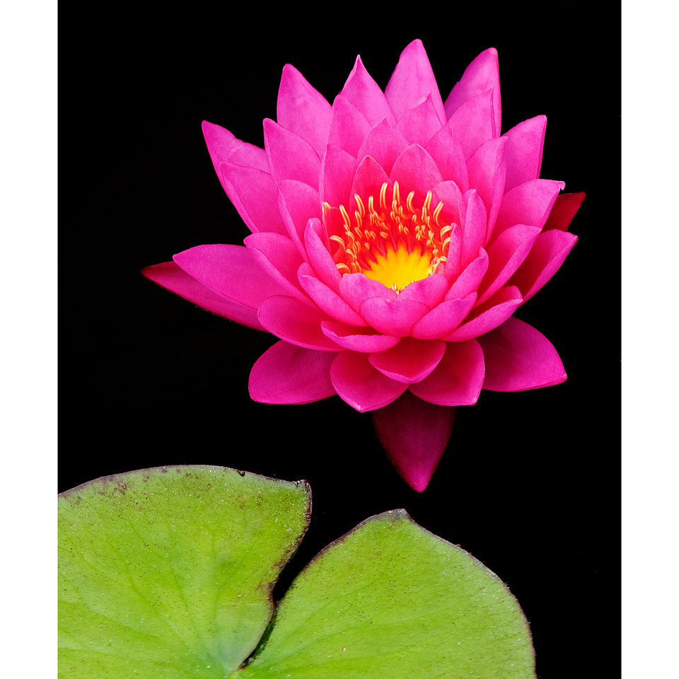 The Green Whale and the Lotus Blossom