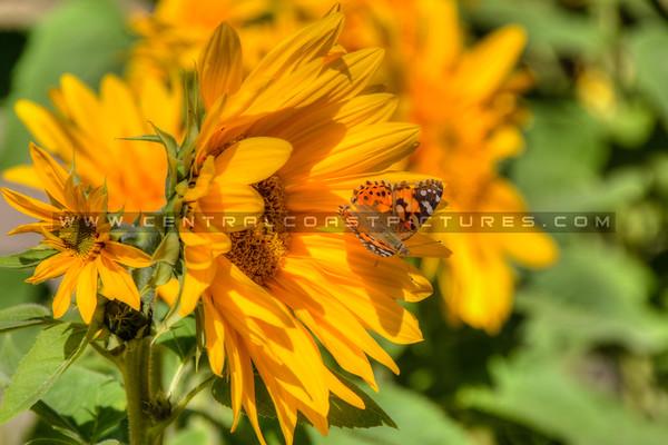 sunflower butterfly 2138