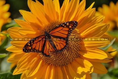 sunflower monarch butterfly 2105