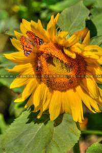 sunflower butterfly bees 2151