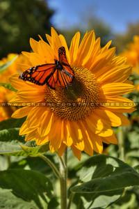 sunflower monarch butterfly 2114