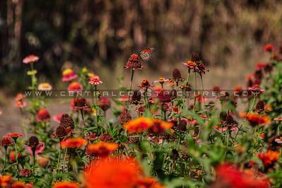 flower monarch butterfly 2006b