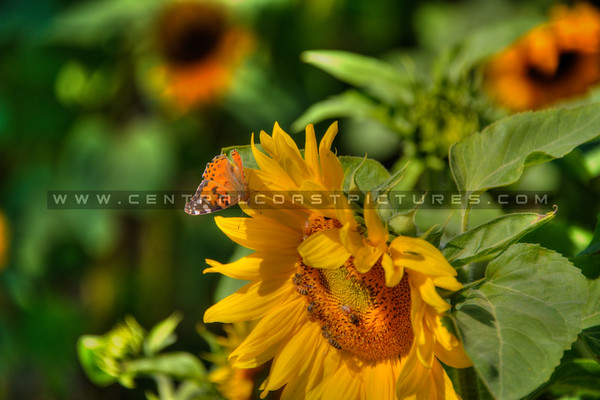 sunflower butterfly bees 2150