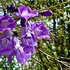 DSC01296 - Flor de un arbusto (Llanos de Venezuela)