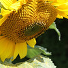 Summer of Sunflowers : I reopened up a corner of my yard and to my joyful surprise up came these wonderful sunflowers.  This gallery will remain unlocked to share the smiles that they bring to me each day. There was also a swarm of bees that were looking for a new home that I was able to capture close to my home.