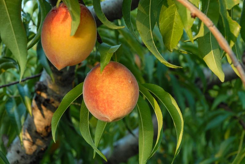 Sweet Georgia Peaches.