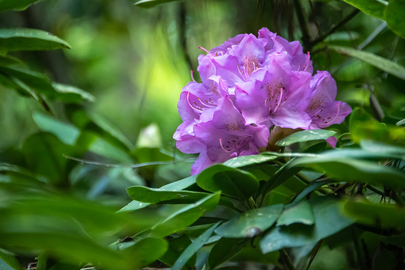 Rhododendron Blossom.
