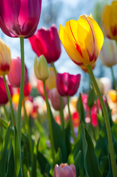 Towering Tulips.