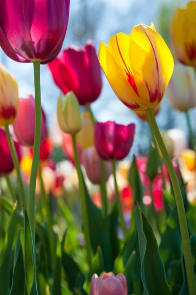 Towering Tulips.