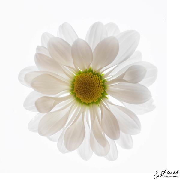Daisy on White