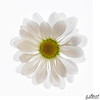 Daisy on White