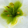 Poppin Pollen