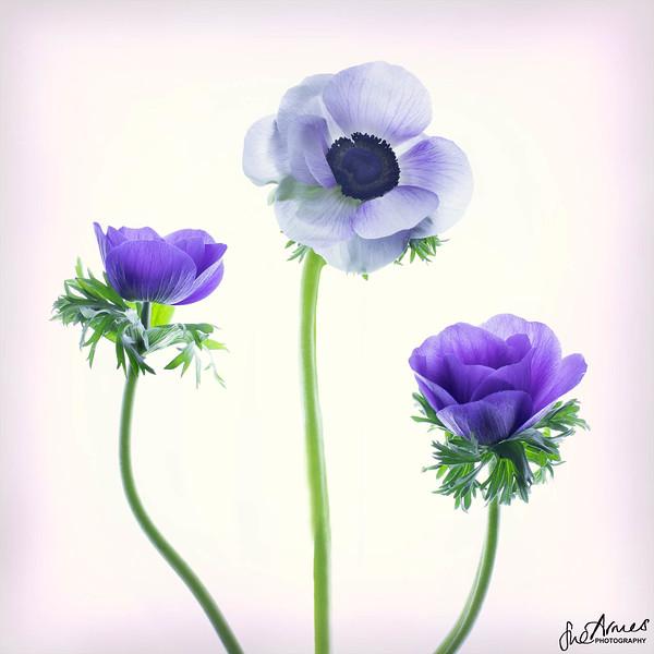 Anemone - Shades of Purple