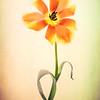 Orange Tulip