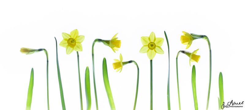 Daffodil Line Up