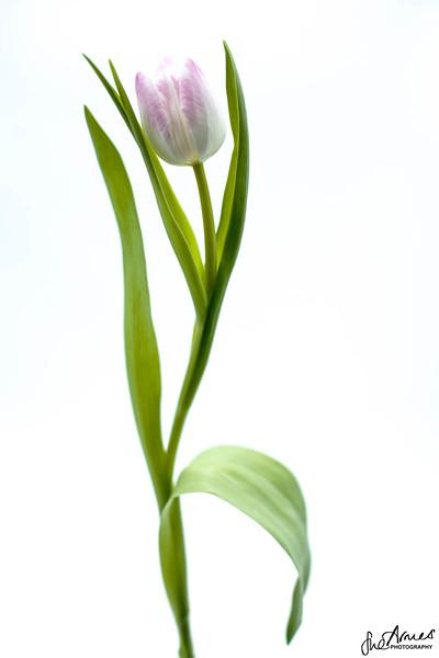 Dancing Tulip 1