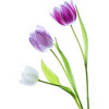 Bright Tulips 3