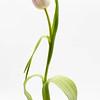 Dancing Tulip 2